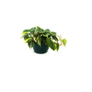 """<p><strong>Leaf Me Co.</strong></p><p>leafme.co</p><p><strong>$35.00</strong></p><p><a href=""""https://www.leafme.co/product/philodendron-brazil/75?cp=true&sa=true&sbp=false&q=false"""" rel=""""nofollow noopener"""" target=""""_blank"""" data-ylk=""""slk:Shop Now"""" class=""""link rapid-noclick-resp"""">Shop Now</a></p><p>If you want this plant to have vibrant green leaves like in the picture shown, you must make sure it's in a spot where it can get lots of sun.</p>"""