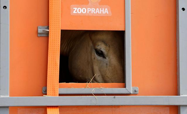 <p>A Przewalski's horse peers out of a container on the way to Takhin Tal National Park, part of the Great Gobi B Strictly Protected Area, in south-west Mongolia, June 20, 2017. (Photo: David W. Cerny/Reuters) </p>