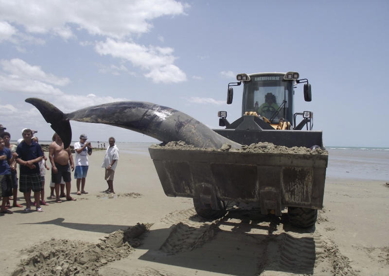 In this photo released by the Voz de Areia Branca, a community news blog, a dead dolphin is carried with a tractor on Upanema beach in the Areia Branca municipality of Rio Grande do Norte state, Brazil, Sunday, Sept. 22, 2013. Around 30 large dolphins known as false killer whales beached themselves in northeastern Brazil. (AP Photo/Carlos Junior, Voz de Areia Branca)