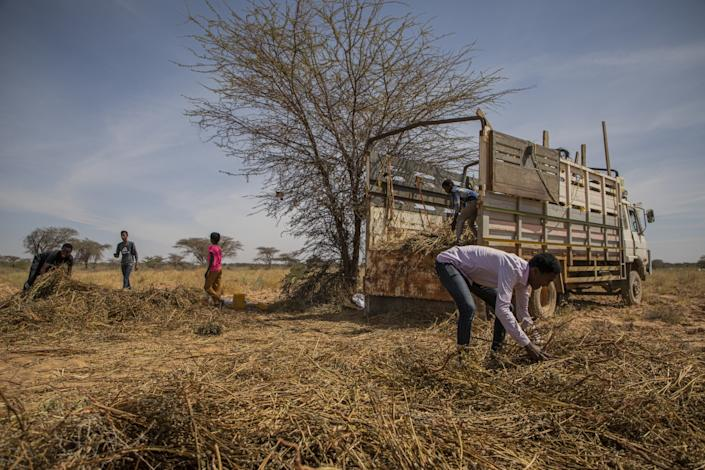 "Workers collect the remains of a sesame crop that was eaten by a desert locust swarm in late 2019. <span class=""copyright"">(Will Swanson / For The Times)</span>"