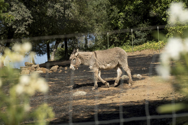 <p>An animal, which survived a wildfire, grazes in a scorched corral on Sunday, July 9, 2017, near Oroville, Calif. Wildfires barreled across the baking landscape of the western U.S. and Canada, destroying a smattering of homes and forcing thousands to flee. (AP Photo/Noah Berger) </p>