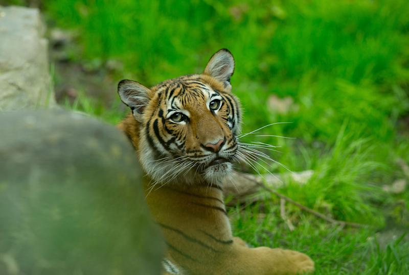 A Malayan tiger cub in its enclosure at the Bronx Zoo. (Photo: Andrew Lichtenstein via Getty Images)