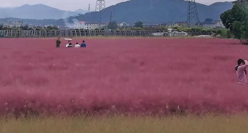 Tourists reportedly ignored the rope barriers and trampled on a field of pink muhly grass in China.