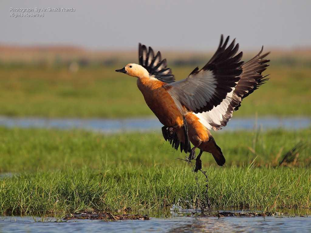 Migratory <strong>Ruddy Shelducks</strong> (<em>Tadorna ferruginea</em>), also known as Brahminy Ducks, rise from the water in Mangalajodi, Odisha.
