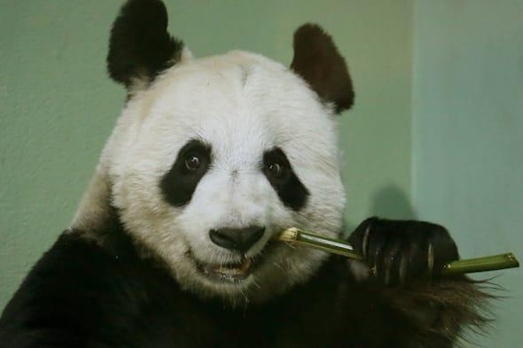 Pilots told not to fly over Edinburgh Zoo as panda 'could miscarry' due to noise