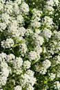 "<p>Sweet alyssum looks amazing tumbling out of baskets and window boxes or cascading over a wall. It comes in pure white and shades of pinks and purples and has a delicate scent that's lovely when planted next to seating areas. It even will survive a light frost, and pollinators absolutely adore it! Sweet alyssum likes sun but can handle a little shade.</p><p><a class=""link rapid-noclick-resp"" href=""https://www.provenwinners.com/plants/lobularia/white-knight-sweet-alyssum-lobularia-hybrid"" rel=""nofollow noopener"" target=""_blank"" data-ylk=""slk:SHOP SWEET ALYSSUM"">SHOP SWEET ALYSSUM</a></p>"