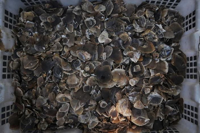 Pangolin scales seized during an anti-smuggling raid (AFP Photo/GATHA GINTING)