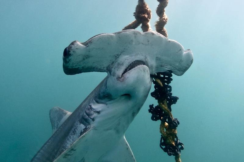 A critically endangered scalloped hammerhead caught in a shark net. Source: Humane Society International