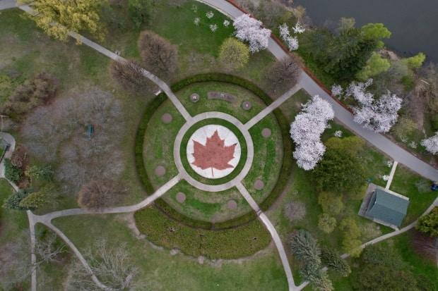 Drone shot of High Park cherry blossoms in bloom on 27 Apr 2021, Again this year, the city has fenced-off the blossoming trees due to COVID-19. See Maple Leaf Garden.
