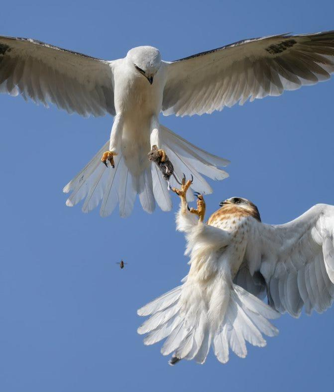 a white bird with wings spread in the air holds the mouse in its claws while the smaller bird with brown spots reaches the claws to pick up the mouse