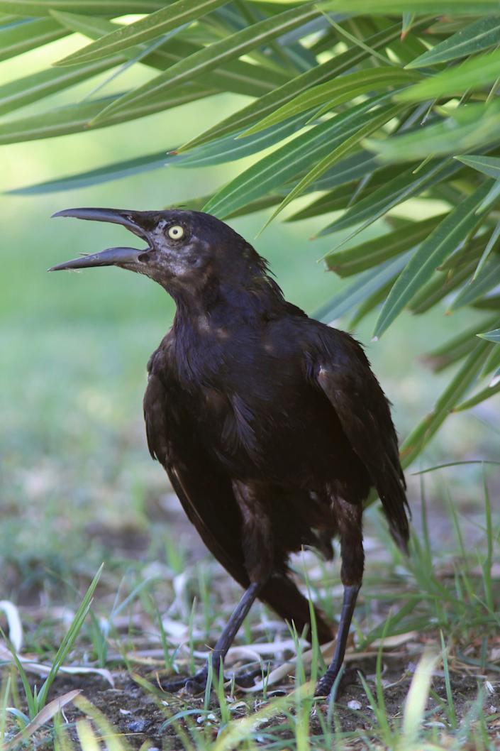 A great-tailed grackle stands gape-mouthed in the shade in 120-degree heat near Furnace Creek Ranch on July 14, 2013, in Death Valley National Park, California.