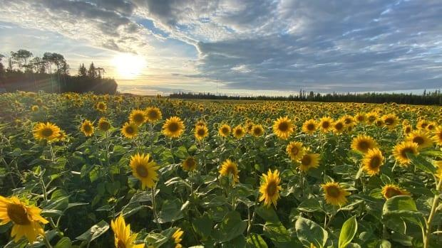 A 30-acre field of sunflower seeds in Hay River, N.W.T. They were planted by Ann Boden and her husband on their farm, not knowing if the flowers would grow. (Submitted by Ann Boden. - image credit)