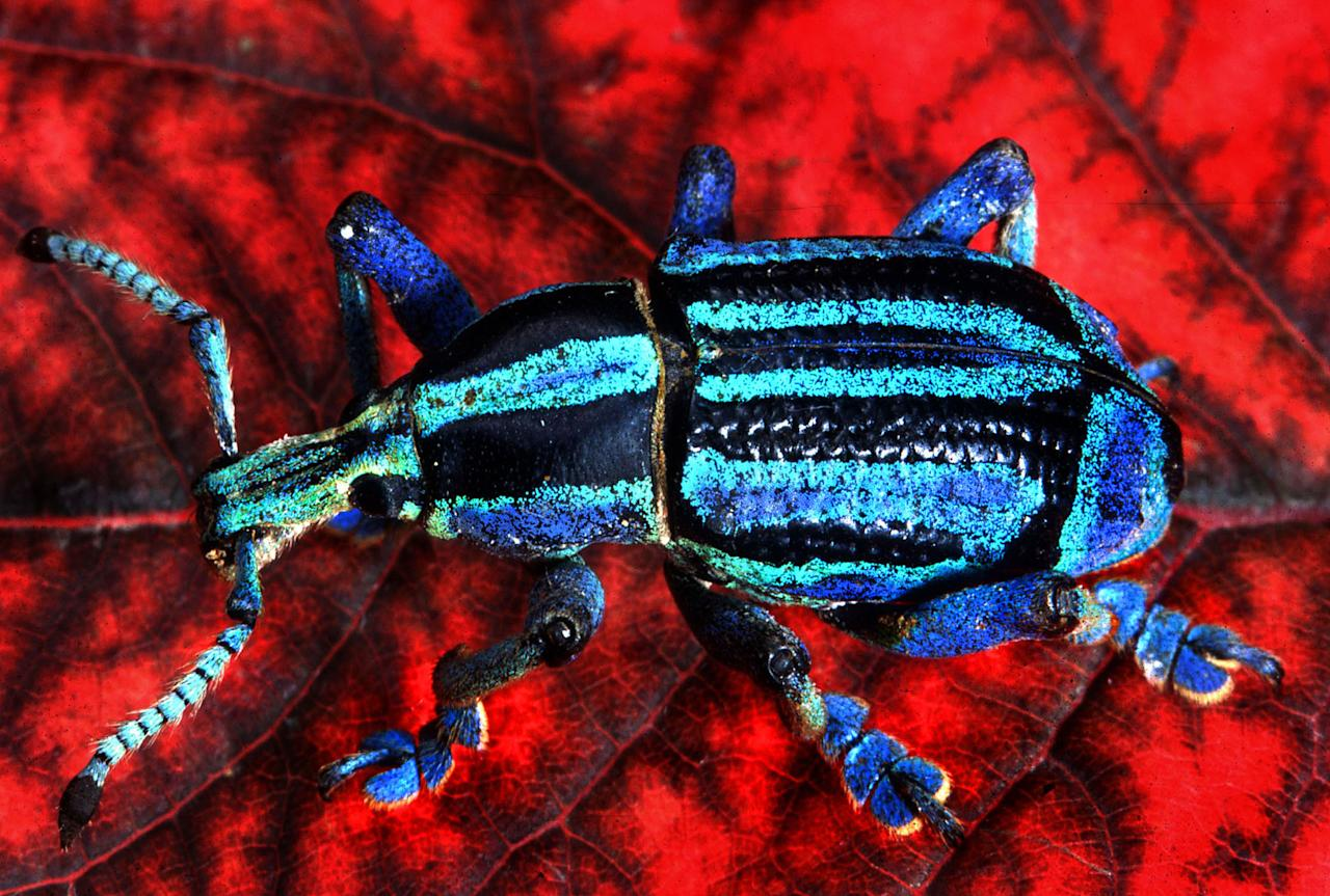 A colourful weevil (Caters)