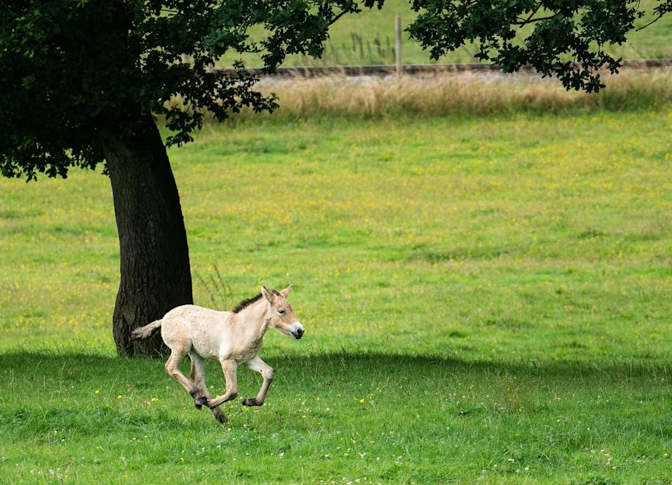 Sooton is learning to gallop (ZSL Whipsnade Zoo/PA)