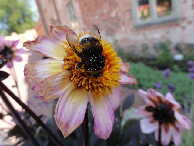 Larger bumblebees are more likely to go out foraging in the low light of dawn, new research shows (University of Exeter/PA).