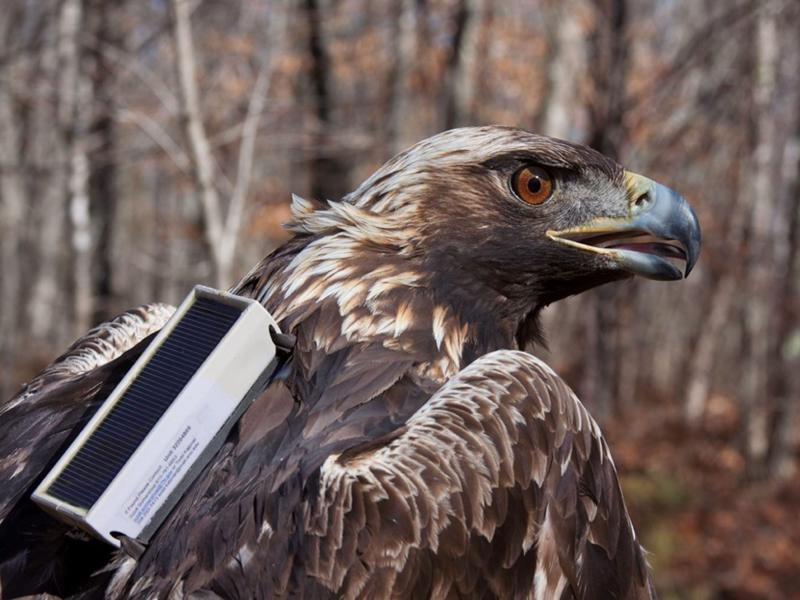 This photo provided by the Alabama Department of Conservation and Natural Resources shows a golden eagle dubbed Hytop with a cellular data transmitter on Feb. 9, 2013, at Skyline Wildlife Management Area in Alabama. Such transmitters are one way the department keeps tabs on the golden eagles that winter in the state. Those fitted to eagles since the start of 2019 are much smaller. (Alabama Department of Conservation and Natural Resources via AP)