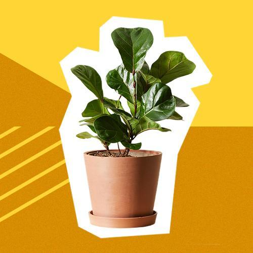 Bloomscape fiddle fig, best Christmas gifts