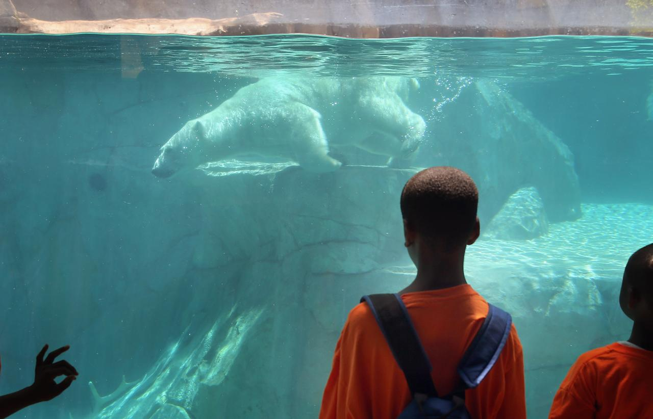 BROOKFIELD, IL - JULY 18: Hudson, a polar bear, cools down with a swim in his enclosure at Brookfield Zoo on July 18, 2013 in Brookfield, Illinois. A heat wave continues to grip much of the country today with temperatures expected to top 90 degrees in forty-seven states. (Photo by Scott Olson/Getty Images)