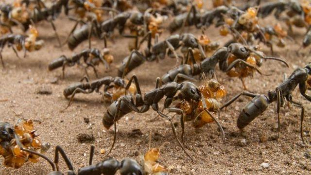 Ants as drug manufacturers for humans?