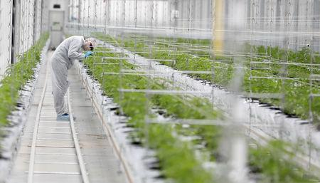 A worker checks cannabis plants inside the Tilray factory hothouse in Cantanhede, Portugal April 24, 2019. REUTERS/Rafael Marchante