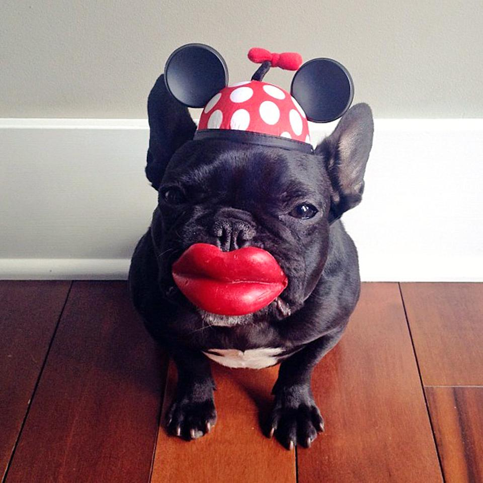 PIC BY SONYA YU / CATERS NEWS - (PICTURED: Trotter dressed up as Minnie Mouse) - An adorable little French Bulldog has been playing dress-up and has impressively gathered a following of 30,000 on Instagram. The photogenic hipster, called Trotter, wears a range of outfits from a beret, moustache, top hat and pipe to high heels. Owner and Trotters photographer Sonya Yu said her little pup is simply a natural in front of the camera. SEE CATERS COPY