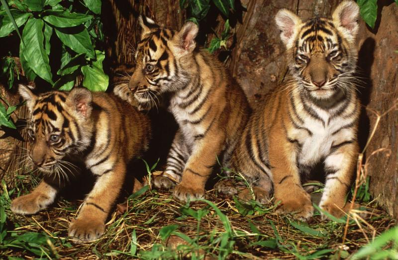 Three young Sumatran tiger cubs, Indonesia.