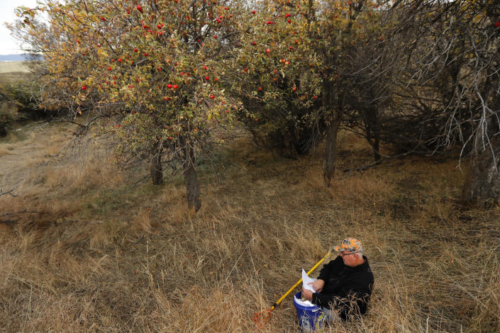 In this Oct. 28, 2019, photo, amateur botanist David Benscoter, of the Lost Apple Project, sits near an apple picking pole as he studies his notes while collecting apples in an orchard at a remote homestead near Pullman, Wash. Benscoter and fellow amateur botanist EJ Brandt recently learned that their work in the fall of 2019 has led to the rediscovery of 10 apple varieties in the Pacific Northwest that were planted by long-ago pioneers and had been thought extinct. (AP Photo/Ted S. Warren)
