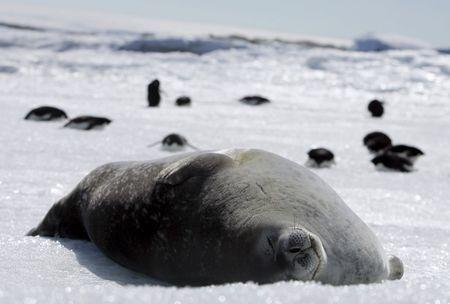 A Weddell seal lies atop ice at Cape Denison, Commonwealth Bay, East Antarctica in this January 1, 2010 file photo. REUTERS/Pauline Askin/Files