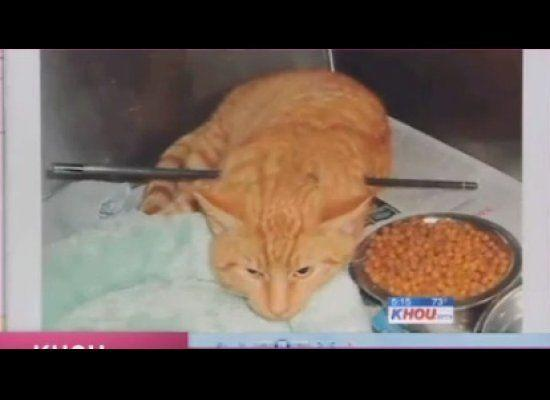 This stray orange tabby in Houston earned the nickname 'Cupid' after he survived a piercing shoulder to shoulder wound in January 2012. A vet safely removed the arrow and 'Cupid' is expected to make a complete recovery.