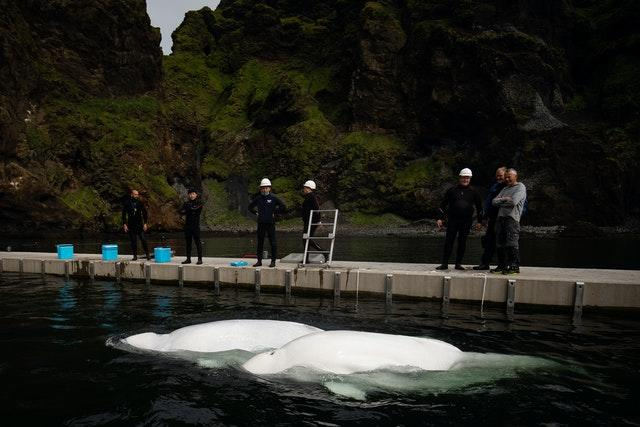 Open-water sanctuary for Beluga Whales