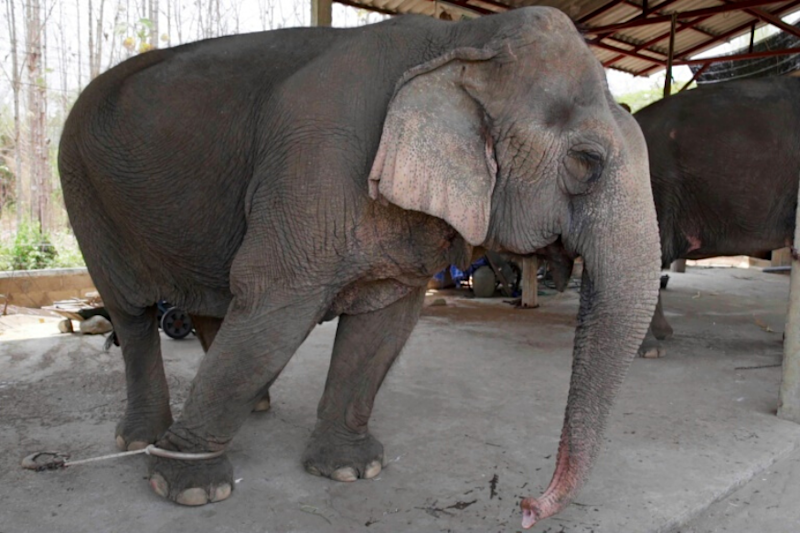 As Coronavirus Crisis Worsens, Thailand's Tourist Elephants Face Starvation