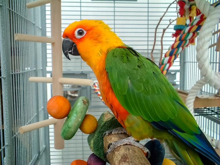 Colorful parrot in cage. A pet Jenday Conure  (Jandaya Parakeet)  Aratinga jandaya. Parrot with bright orange, green and blue feathers, native to Brazil and closely related to Sun Conures.