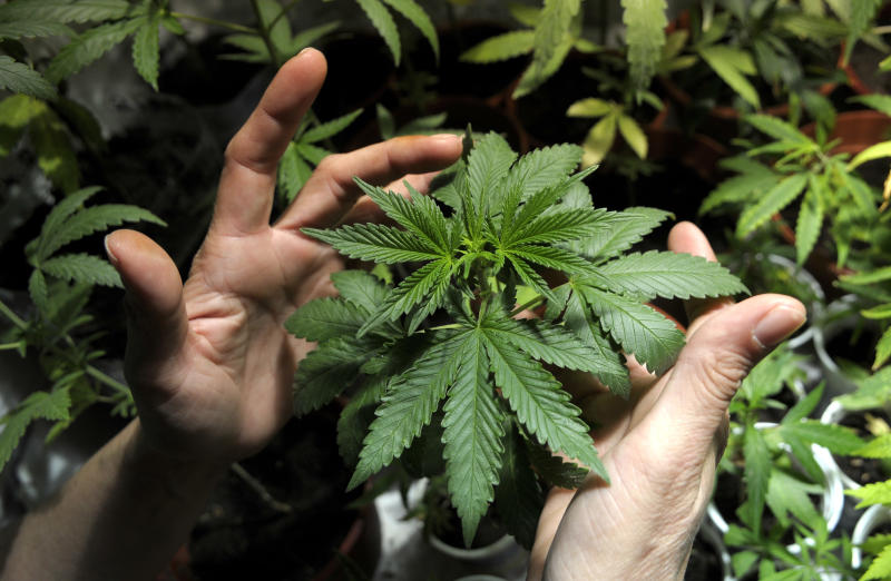 FILE - In this Nov. 14, 2012 file photo, a marijuana grower shows plants he is cultivating with some friends in Montevideo, Uruguay. The Uruguayan Congress is debating President Jose Mujica's proposal to fight organized crime by legalizing the production and sale of marijuana. A vote is expected late Wednesday, July 31, 2013 on the proposal to license growers, sellers and consumers, with a confidential registry to keep people from buying more than 40 grams a month. Anyone carrying, growing or selling pot without a license would face stiff penalties including long prison terms. (AP Photo/Matilde Campodonico, File)