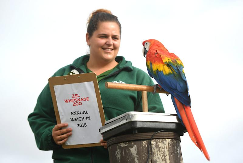 Inca, the scarlet macaw is weighed by keeper Rebecca Feenan.