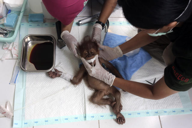 In this Sunday, March 17, 2019, file photo, a veterinarian and a volunteer of Sumatra Orangutan Conservation Programme (SOCP) tend to a three-month old baby orangutan named 'Brenda' that was evacuated from a village with a broken arm, prior to a surgery at SOCP facility in Sibolangit, North Sumatra, Indonesia. Orangutan populations in Indonesia's Borneo and Sumatra island are facing severe threats from habitat loss, illegal logging, fires and poaching. Conservationists predicted that without immediate action, orangutans are likely to be the first great ape to become extinct in the wild. (AP Photo/Binsar Bakkara, File)