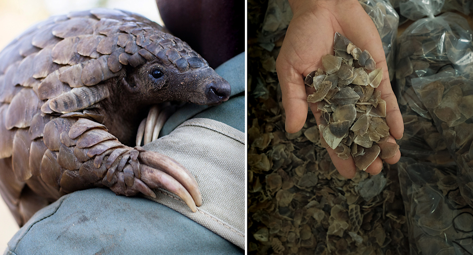A pangolin and a bucket of their scales. Source: Getty