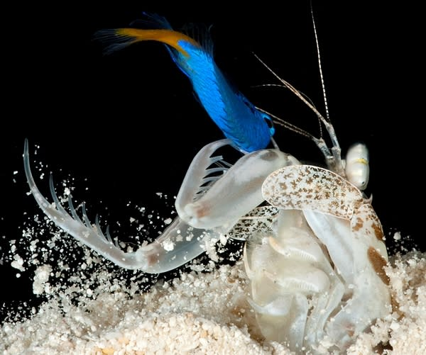 How 'Smashing' & 'Spearing' Shrimp Speedily Attack Prey