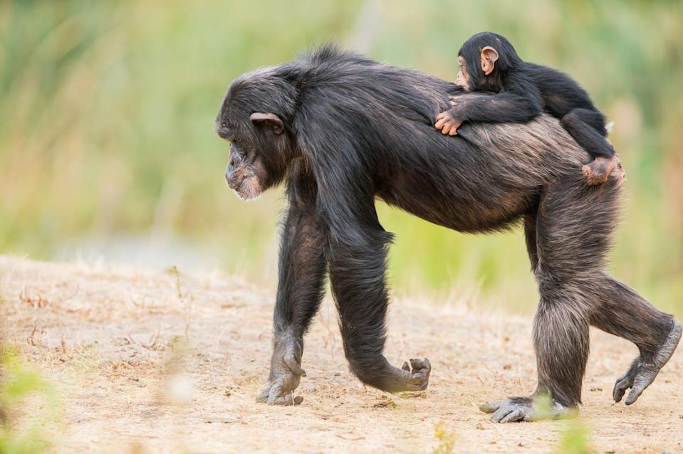 "<span class=""attribution""><a class=""link rapid-noclick-resp"" href=""https://www.shutterstock.com/es/image-photo/on-back-common-chimpanzee-there-baby-1165386886"" rel=""nofollow noopener"" target=""_blank"" data-ylk=""slk:Marcel Derweduwen/Shutterstock"">Marcel Derweduwen/Shutterstock</a></span>"
