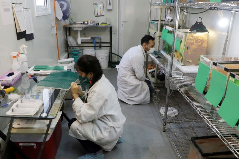 Scientists work inside a laboratory where so called 'Rana del Loa' (Loa's Frog), under danger of extinction has been successfully reproduced, in Santiago