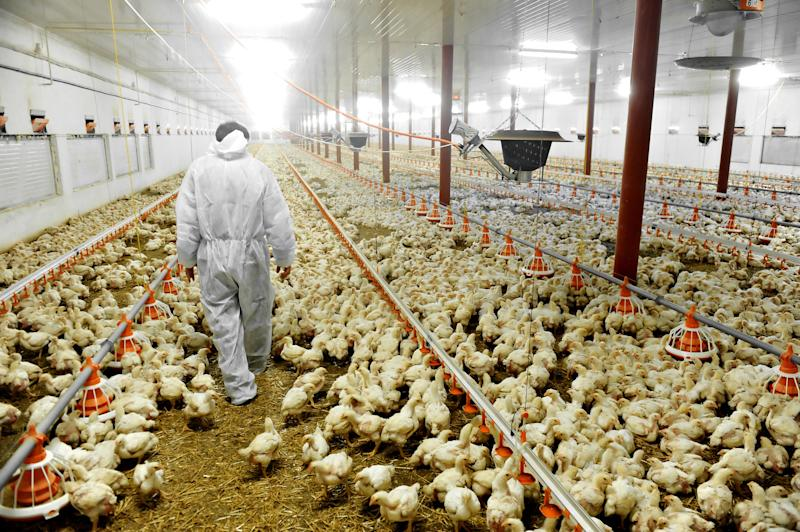 <strong>Inside a poultry farm.</strong> (roibu via Getty Images)