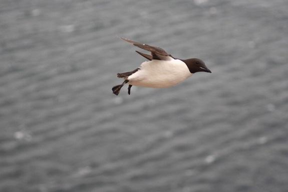Why Penguins Quit Flying