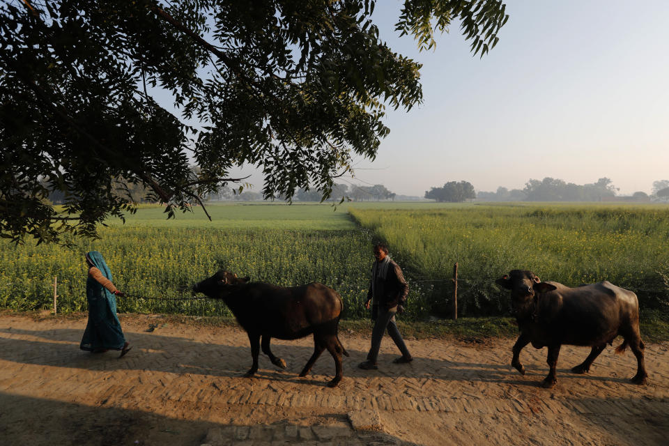 Indian farmer Ram Singh Patel, right, and his wife Kantee Devi take their cattle out in the open in Fatehpur district, 180 kilometers (112 miles) south of Lucknow, India, Saturday, Dec. 19, 2020. Patel's day starts at 6 in the morning, when he walks into his farmland tucked next to a railway line. For hours he toils on the farm, where he grows chili peppers, onions, garlic, tomatoes and papayas. Sometimes his wife, two sons and two daughters join him to lend a helping hand or have lunch with him. (AP Photo/Rajesh Kumar Singh)