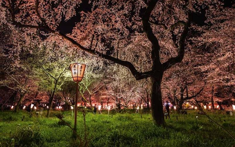 Japan's cherry blossom