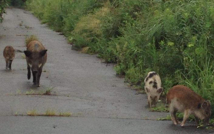 Spotted wild boar are indicative of the interbreeding with domestic pigs following the 2011 Fukushima disaster - Hiroko Ishiniwa
