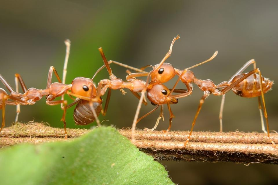 red harvester ants