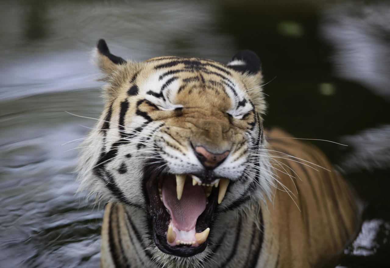 A Royal Bengal tiger yawns at the Nehru Zoological Park in Hyderabad, India, Thursday, May 26, 2011.