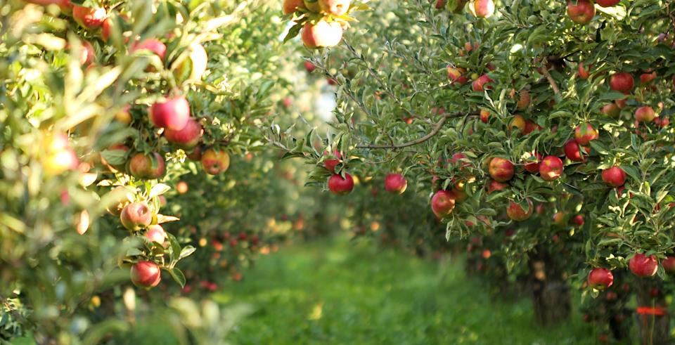 """""""Avoiding pesticides is just a smart thing to do, and I'll pay a little more for the [organic] apple,"""" natural foods chef<a href=""""https://robinasbell.com/""""> Robin Asbell</a> said. (Photo: redstallion via Getty Images)"""
