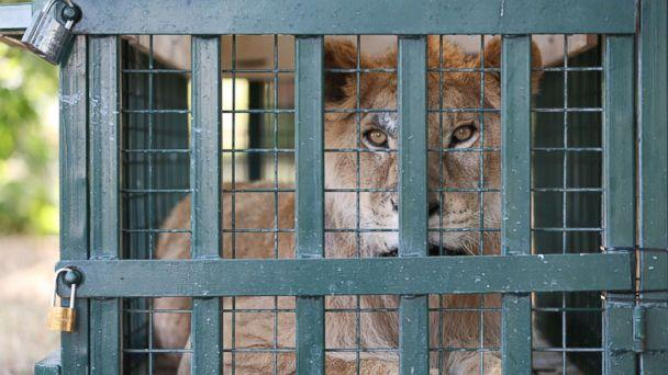 PHOTO: A lion looks out from his cage after being rescued from Syria's Aleppo zoo and arriving in Bursa, Turkey, July 26, 2017. (Ali Atmaca/Anadolu Agency via Getty Images)