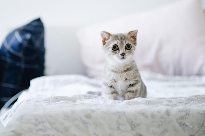 This might be how Brandy looked as a kitten.