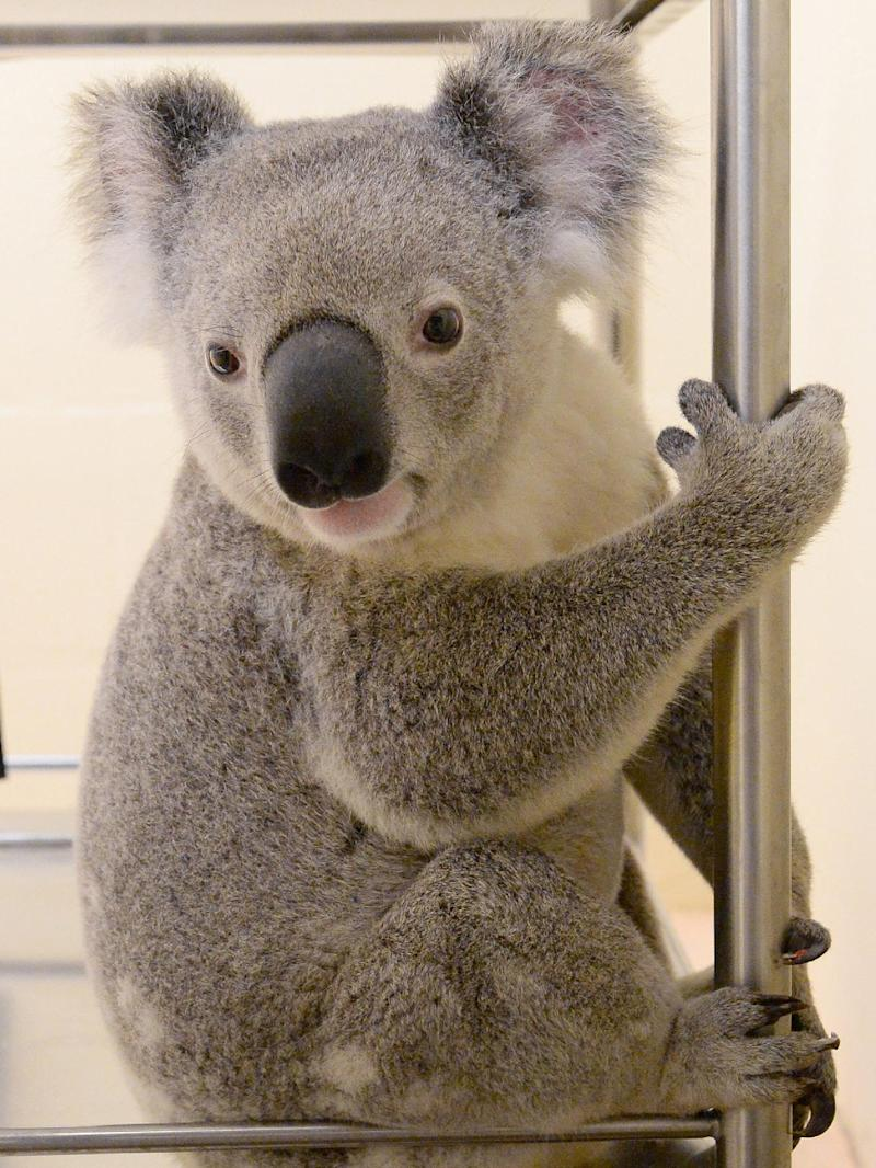 Timberwolf the koala, who is lucky to be alive after surviving a 88-kilometre ride down a busy Australian freeway clinging to the bottom of a car, is pictured in Beerwah on July 26, 2014